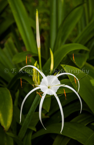 The white spider lily growing in the parks of Singapore, Asia.