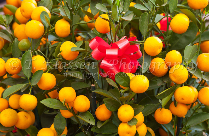 Chinese mandarin orange ornamental trees in a nursery in celebration of Chinese New Year in Chinatown, Singapore, East Asia.