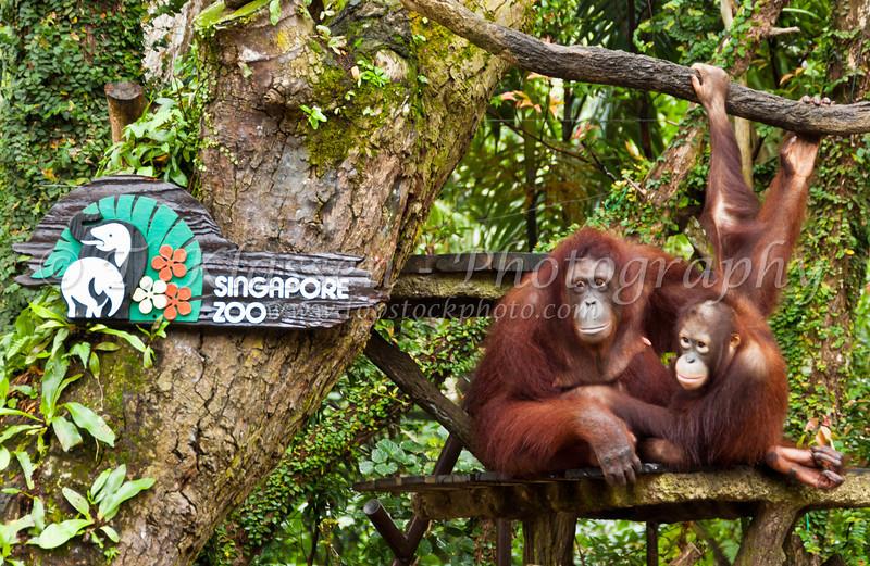 Singapore Zoo sign,  with monkeys, Singapore, East Asia.