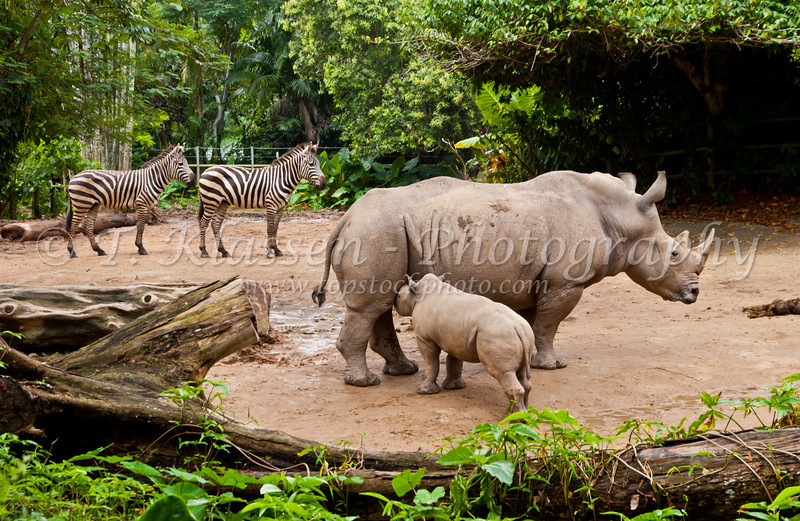 A white or square lipped rhino cow and calf in the Singapore Zoo, East Asia.