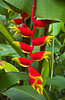 Tropical heliconia flowers in the Singapore Zoo, East Asia.