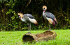 East African Crowned Crane, Balearica regulorum, at the Singapore Zoo, East Asia.