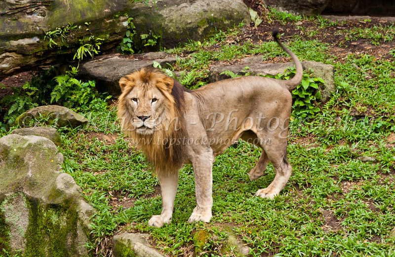 A male lion in the Singapore Zoo, East Asia.