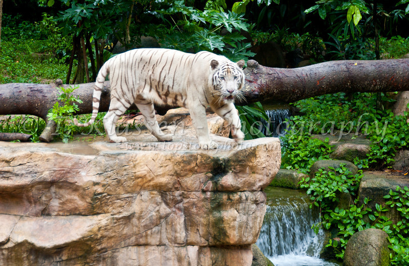 A white tiger at the Singapore Zoo, Singapore, East Asia.