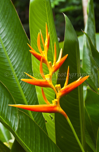 Tropical heliconia flowers in the Singapore Zoo East Asia.