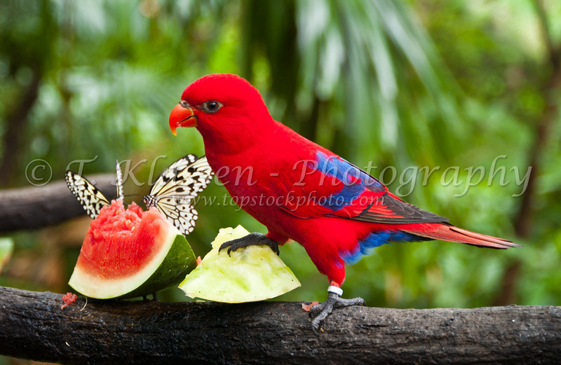 A scarlet parrot eating watermelon and apples at an aviary in the Singapore Zoo.