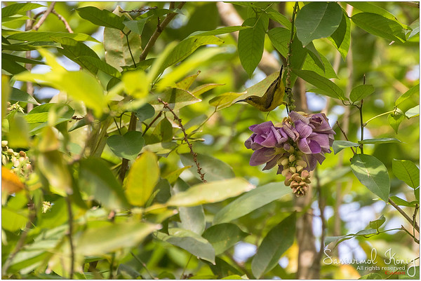 Female Sunbird on Philippine Pigeonwings flowers (Butterfly Pea Tree) at Botanical Gardens, Singapore