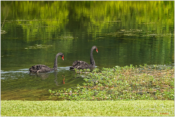 Black swans having easy cheesy day (It has nothing to do with Natalie Portman)