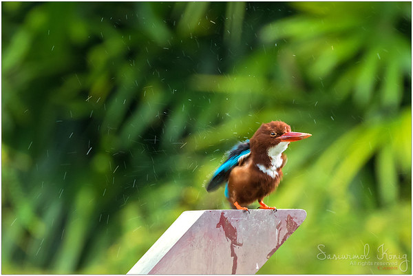 White-throated Kingfisher.. Shake it off