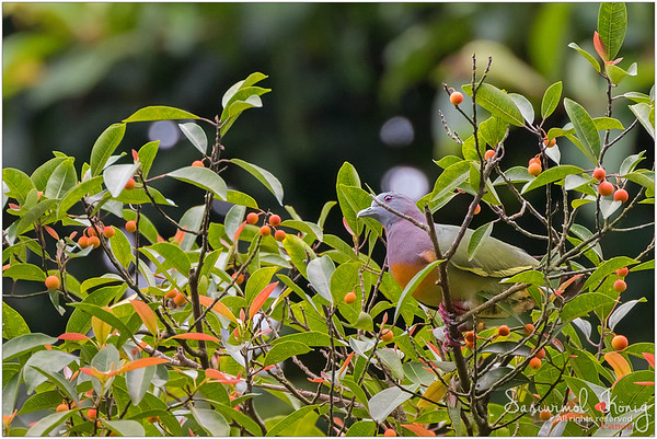 Male Pink-necked green pigeon at Botanical Gardens, Singapore