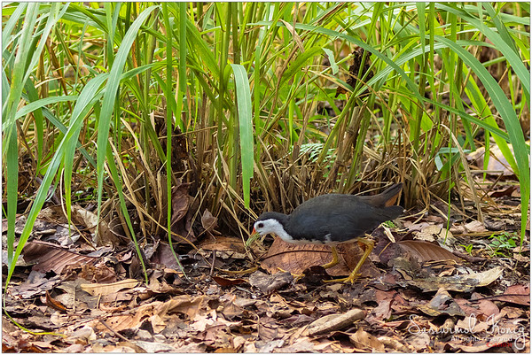 White-breasted waterhen inspecting dried foliage and gleaning for insects at Botanical Gardens, Singapore