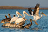 Birds-WhiteBPeliL1117