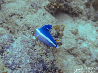 Robe Hem Hypselodoris Nudibranch