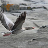 Greylag Goose / Grågås, (Anser anser)<br /> <br /> Saltstein, Jomfruland<br /> Kragerø, Telemark