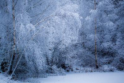 Frostmorgen i bjørkeskogen