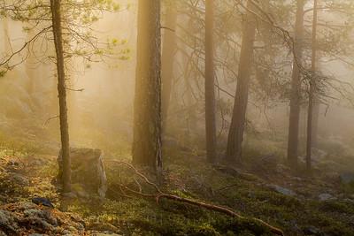 Morgengull i tåkeskog
