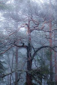 Krokfuru i tåkeskog