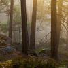 Furuskog i gyllen morgenstemning