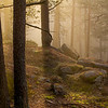 Furuskog i gjennomlyst tåke