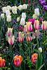 DSCN8130_pe Tulips VT 4-12-18