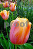DSCN8156_pe xcu orange tulip 4-12-18