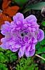 DSCN8135_pe purple Anemone2 CU 4-12-18