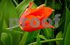 DSCN7843-EditTwilight  Orange Tulip 4-8-18