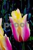 DSCN8208_pe 2 striped tulips 4-12-18