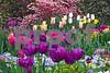 DSCN8184 Tulip beds w Azaleas 4-12-18