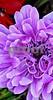DSCN8135_pe purple Anemone CU 4-12-18