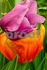 DSCN7761-EditMicro CB II Purple&Orange Tulips 4-8-18