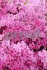 DSCN8167_pe Mass Pink Azaleas 4-12-18