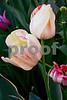 DSCN8199_pe 2 peppermint tulips