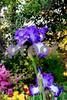 DSCN8133_pe 2 Iris LMUP 4-12-18