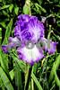 DSCN7748-EditLandscape II Purple Iris 4-8-18 8x12 crop