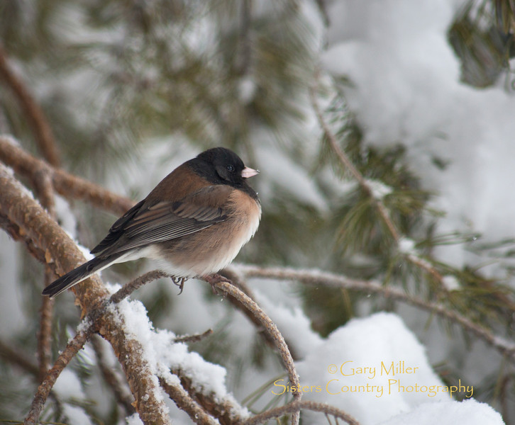 Snow Birds of Sisters Country - Gary Miller - Sisters Country Photography