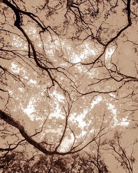 Oak Grove Canopy #16, Graphic Sepia