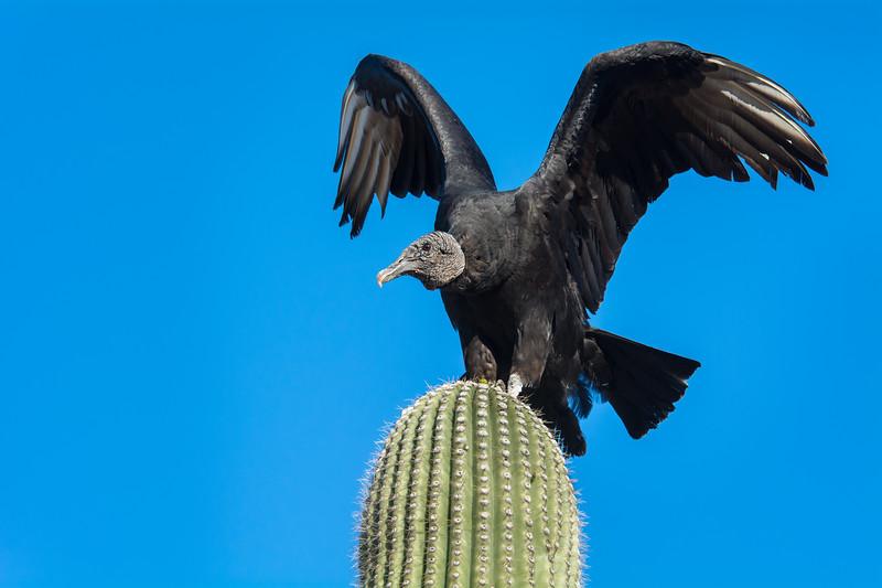 Black Vulture on Saguaro #1