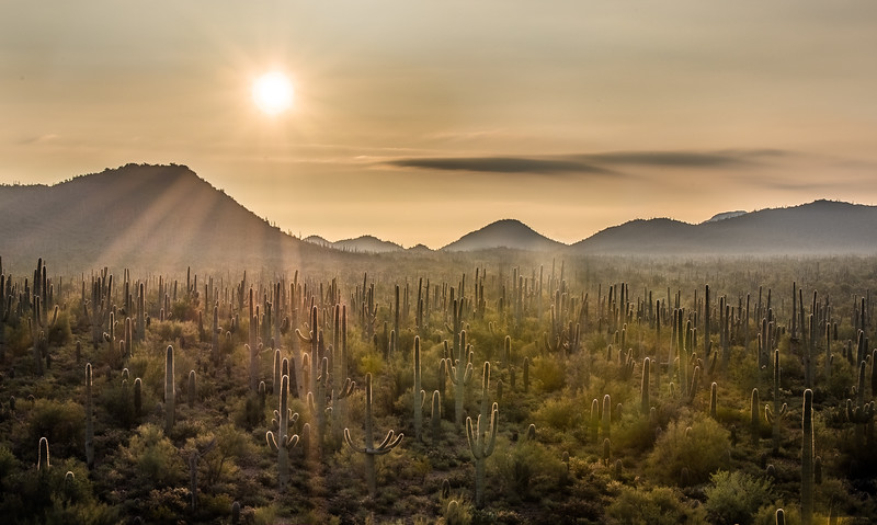 Hazy Sun and Saguaro Forest