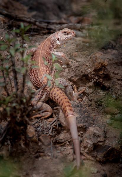 Desert Iguana Shedding Skin