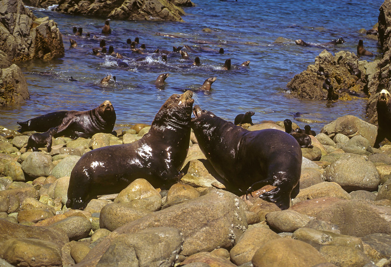 California Sea Lion Bulls Fighting
