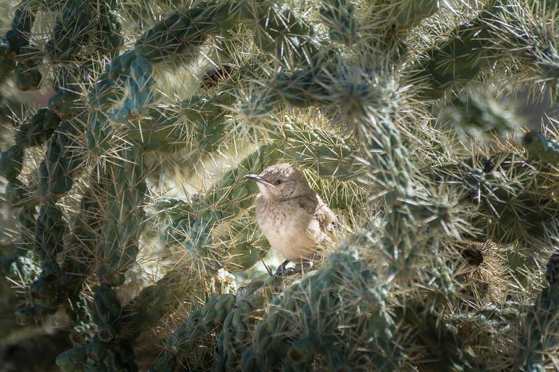 Curve-billed Thrasher at Nest
