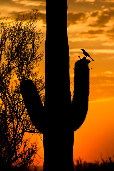 Curve-billed  Thrasher at Sunset