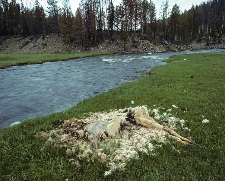 Winter-Killed Elk