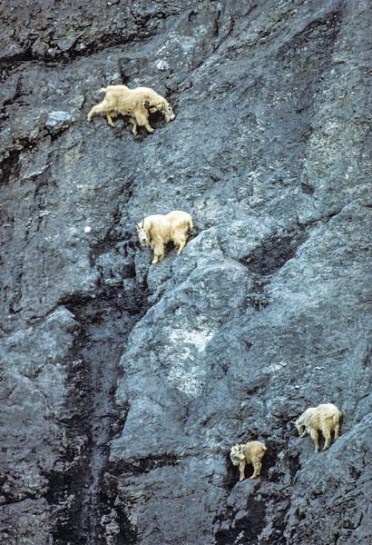 Mountain Goats at Salt Lick