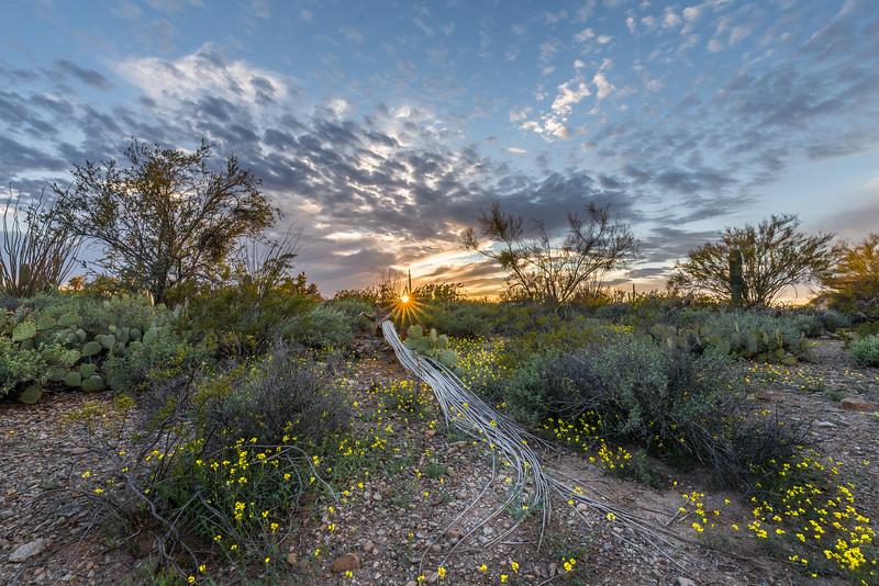 Saguaro Skeleton and Mustard Flowers #4