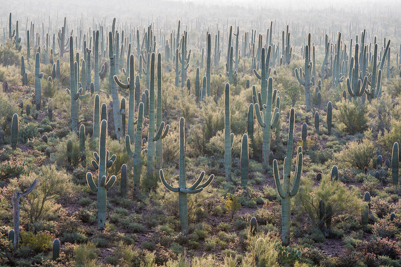 Saguaro Forest #6