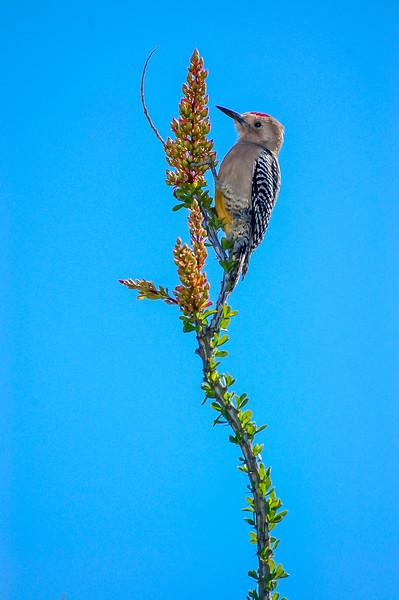 Gila Woodpecker on Flowering Ocotillo