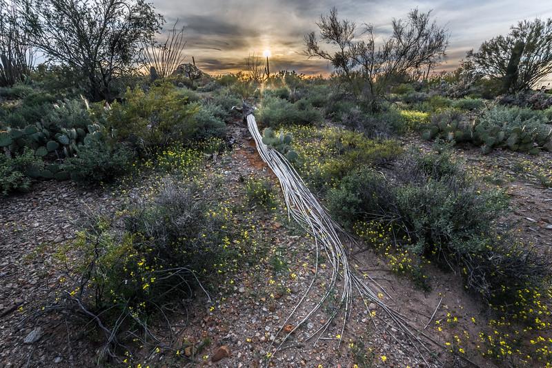Saguaro Skeleton and Mustard Flowers #3