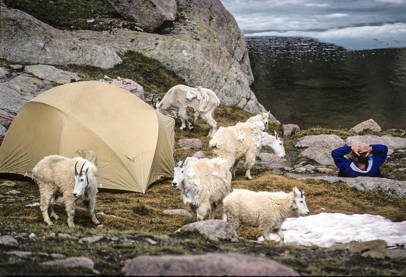Mountain Goats in Backpackers Camp